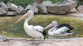Australische Pelikane in Adelaide Stockbilder