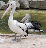 Australische Pelikane in Adelaide Lizenzfreies Stockfoto