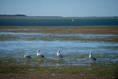 Australische Pelikane, die nach Nahrung am Strand um Brisbane, Australien suchen Australien ist ein Kontinent, der im Südteil O g stockbilder