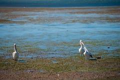 Australische Pelikane, die nach Nahrung am Strand um Brisbane, Australien suchen Australien ist ein Kontinent, der im Südteil O g lizenzfreies stockfoto