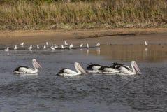 Australische Pelikanen Royalty-vrije Stock Afbeelding