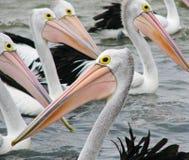 Australische Pelikanen Stock Afbeeldingen