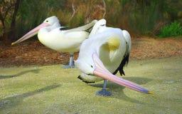 Australische pelikanen Royalty-vrije Stock Afbeeldingen