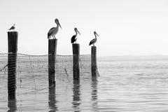 Australische Pelikanen Stock Foto