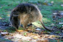 Australische Quokka Stock Afbeeldingen