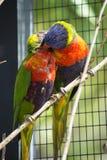 Australische Regenbogen lorikeets stockfotografie