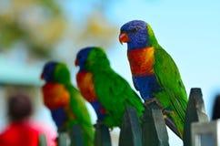 Australische Regenboog Lorikeet Royalty-vrije Stock Foto's