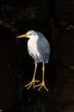 Australische Reihernahaufnahme auf einem dunklen Hintergrund Lizenzfreies Stockbild