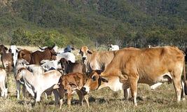 Australische Rindfleischrinderherde von Kühen auf Ranch lizenzfreie stockfotos
