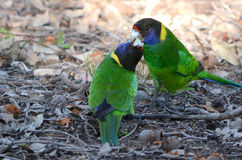 Australische ringneckpapegaai Stock Foto's