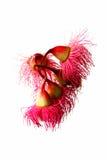 Australische Rode Bloemen Ironbark Stock Fotografie