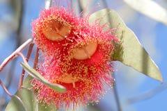 Australische rode ficifolia van bloemcorymbia Royalty-vrije Stock Afbeelding