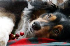 Australische Schäferhund-Weihnachtsbildschirmanzeige Stockfotografie