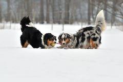 Australische Schäferhunde Stockfoto