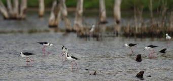 Australische schwarze geflügelte Stelzen stock video footage