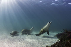 Australische Seelöwen lizenzfreie stockfotografie