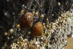 Australische Shells Royalty-vrije Stock Afbeeldingen