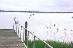 Australische Vögel, die auf Anlegestelle fliegen Stockfotografie
