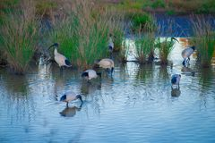 Australische Vögel, die nach Nahrung im Teich um Brisbane, Australien suchen Australien ist ein Kontinent, der im Südteil von Th  lizenzfreie stockfotografie