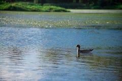 Australische Vögel, die nach Nahrung im Teich um Brisbane, Australien suchen Australien ist ein Kontinent, der im Südteil von Th  stockfotos