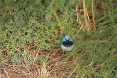 Australische vogel Royalty-vrije Stock Fotografie