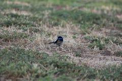 Australische vogel Stock Afbeelding