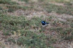 Australische vogel Royalty-vrije Stock Afbeeldingen