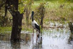 Australische Vogel Jabiru Royalty-vrije Stock Afbeelding