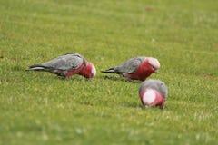 Australische vogels op groen gras royalty-vrije stock foto