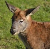 Australische Wallaby Royalty-vrije Stock Foto