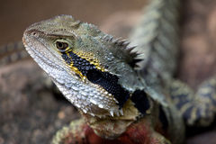 Australische Wasseragame. Portrait of an Australian water agama Stock Photo