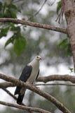 Australische weiße vorangegangene Taube Stockfotos