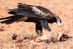 Australische wig-Staart Eagle Eating een Kangoeroe royalty-vrije stock foto's