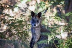 Australische wilde wallaby Royalty-vrije Stock Foto