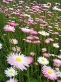Australische Wildflowers Lizenzfreies Stockfoto