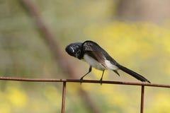 Australische Willy kwikstaartvogel Stock Fotografie