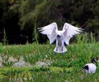 Australische Witte Ibis Royalty-vrije Stock Foto's