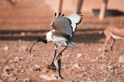 Australische Witte Ibis royalty-vrije stock foto