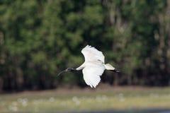 Australische Witte Ibis on the fly stock afbeeldingen