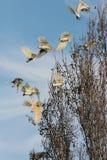 Australische Witte Zwavel Kuifkaketoes tijdens de vlucht stock afbeelding