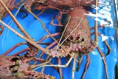 Australische zeekreeft Royalty-vrije Stock Foto's