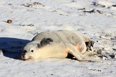 Australische Zeeleeuw Stock Afbeeldingen