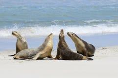 Australische zeeleeuwen royalty-vrije stock fotografie