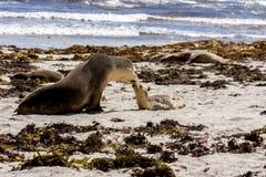 Australische zeeleeuwen, moeder en baby Neophoca cinerea op de kustlijn van het Kangoeroeeiland, Zuid-Australië, Verbindingsbaai stock foto