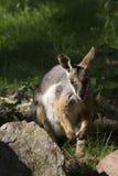 Australische zeldzame geel-Betaalde rots-Wallaby, Petrogale-xanthopusxanthopus Stock Foto
