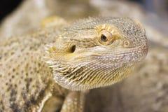 Australischer bärtiger Drache - Pogona vitticeps Lizenzfreies Stockfoto
