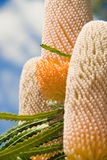 Australischer Banksia Stockbild