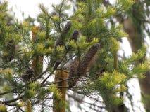 Australischer Banksia-Baum Lizenzfreie Stockbilder