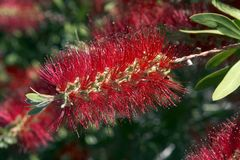 Australischer Bottle-Brush lizenzfreie stockfotografie