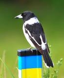 Australischer Butcherbird auf Zaun Lizenzfreies Stockfoto